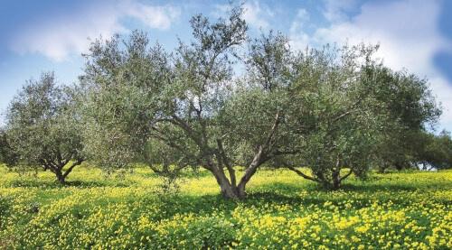 Acropolis Organics Olive Tree