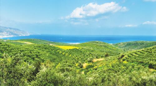 Acropolis Organics Olive Tree Field